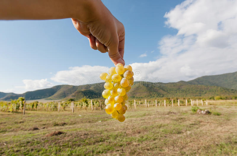 Fresh harvest in valley of grapes. Bunch of juicy grapes in the farmer`s hand and blue sky on background royalty free stock image