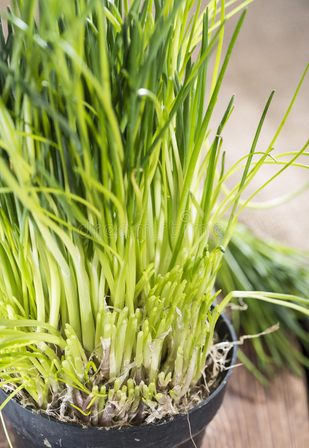 Fresh harvested Chives stock image