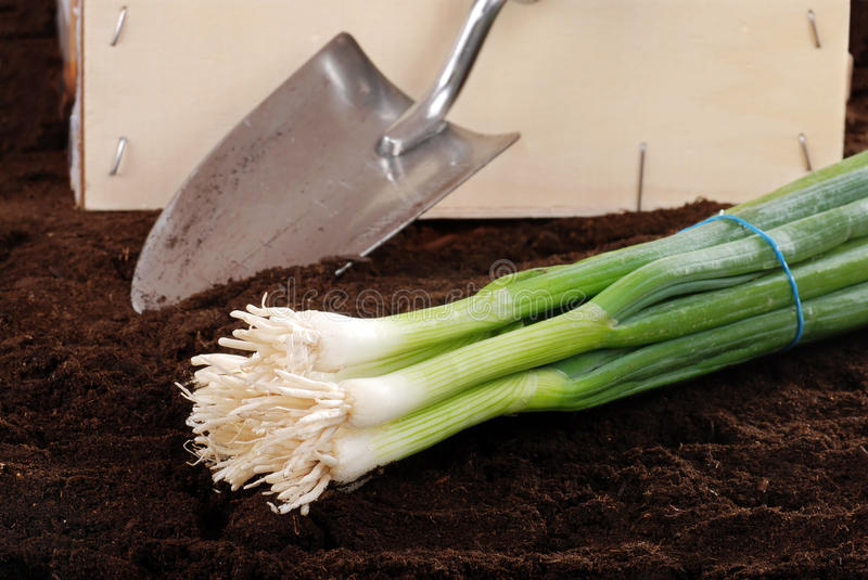 Fresh Harvested Spring Onions Stock Photo