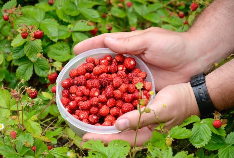 Fresh Harvested Wild Strawberries Stock Photo