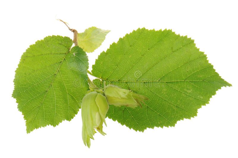 Fresh hazel nuts stock photos