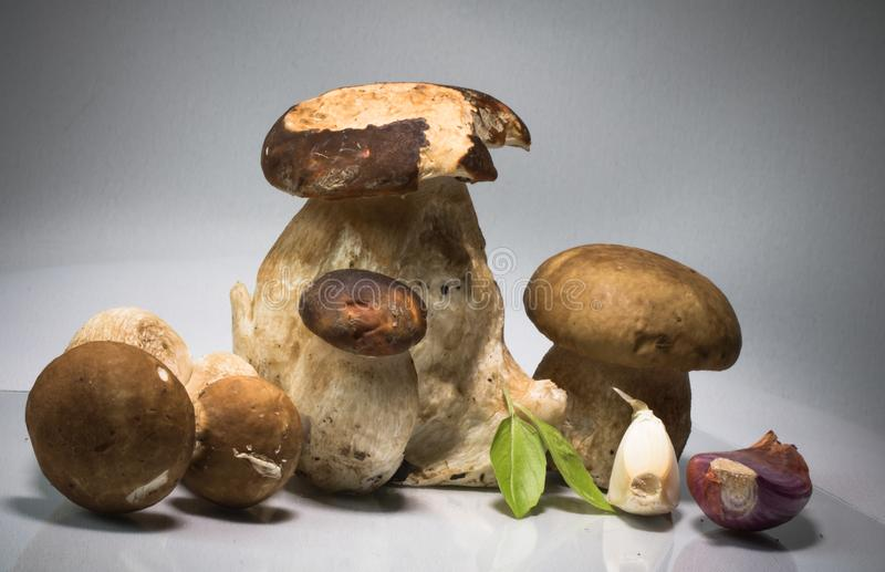 Fresh healthy happy family of mushrooms cep porcini boletus edulis with basil herb and garlic. And highlighted on grey background with copy space graphic design stock photos