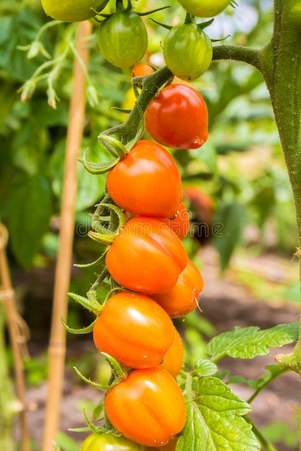 Fresh healthy sweet tomatoes ripening on the vine in lush green garden stock image