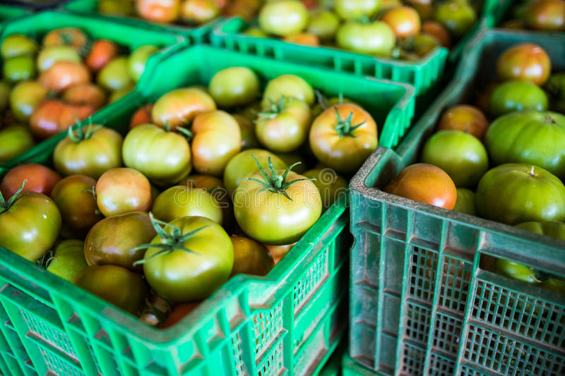Fresh healthy tomatoes being stocked in plastic boxes. Agriculture royalty free stock photo