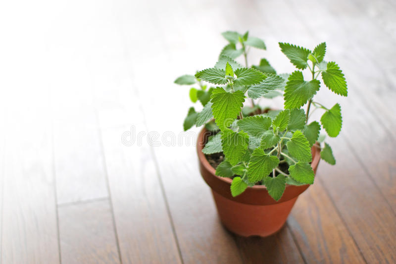 Fresh herb catnip in a flowerpot. On the wood floor stock image
