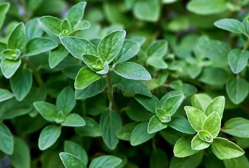 Fresh herb: Italian Oregano royalty free stock photography