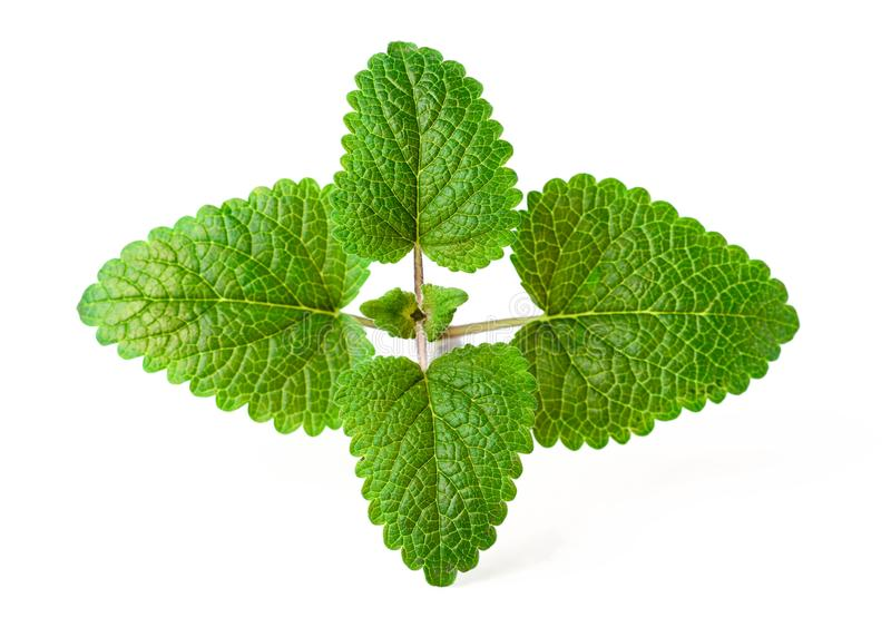 Fresh herb, lemon balm isolated on the white royalty free stock photos