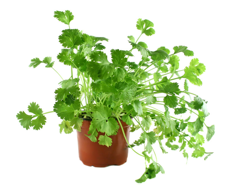 Download Fresh Herbs Coriander 1 stock photo. Image of delicious - 4485566