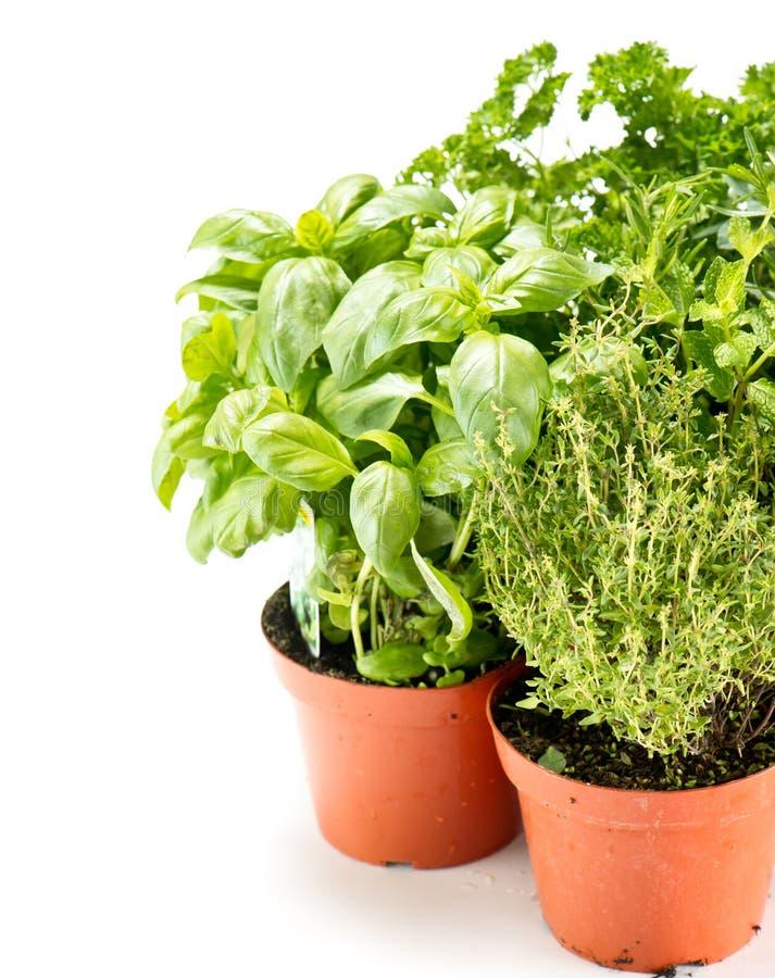 Fresh Herbs In Gardening Pots Royalty Free Stock Photos