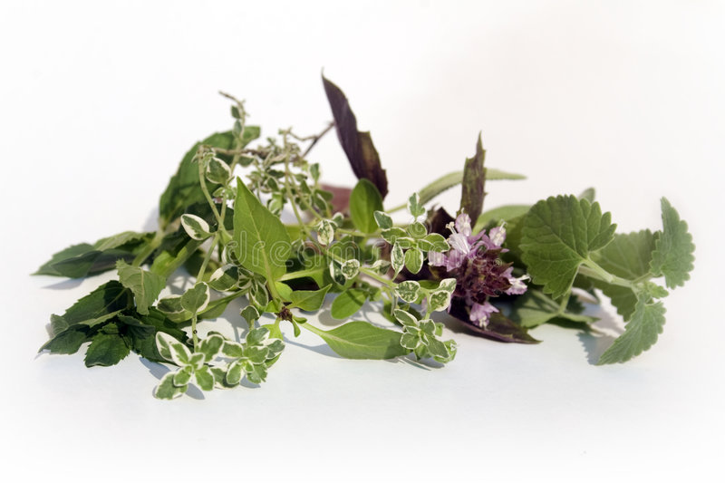 Fresh herbs on white. Catnip, red basil, lemon thyme, thai basil, and mint royalty free stock photos