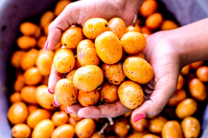 Fresh Hog plum. Of the South Pacific Islands fruit peru brazilian salvadoran siriguela sineguela plant de tropical purple ceara traditional berry jamaica stock photography