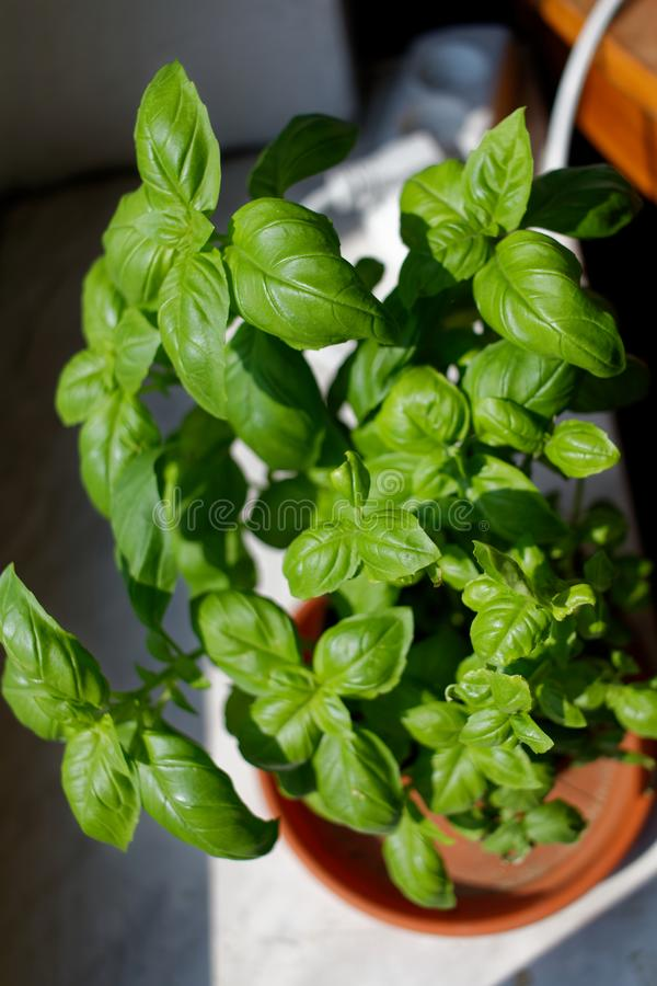 Basil in the pot. Fresh homegrown intensely green basil in the pot stock image
