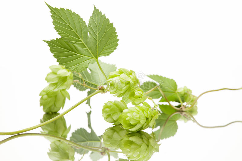 Fresh hop with leaves. On white background stock photography