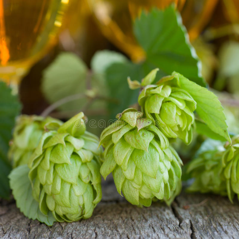 Fresh hops. Fresh beer and hops on wooden ground stock photos