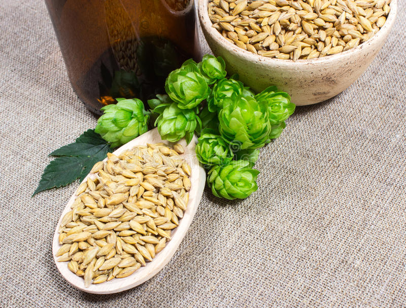 Fresh hops and barley grain - closeup. Fresh hops and barley grain on canvas background royalty free stock images