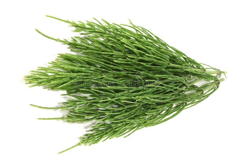 Download Fresh horsetail stock photo. Image of rush, green, drug - 24897374