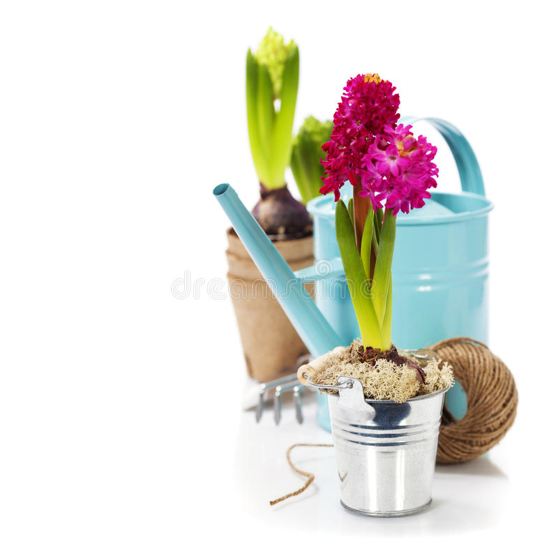 Fresh Hyacinth flower bulb in pot and garden tools stock image