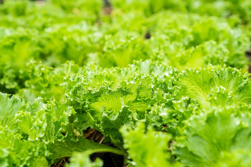 Fresh hydroponic vegetable. Close up stock photo