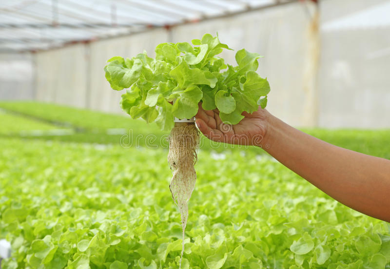 Fresh hydroponic vegetable on hand. In a garden stock photos