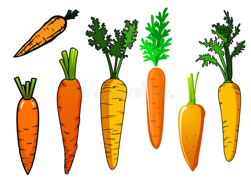 Fresh isolated orange carrot vegetables. With lush green leaves for food and nutrition design royalty free illustration