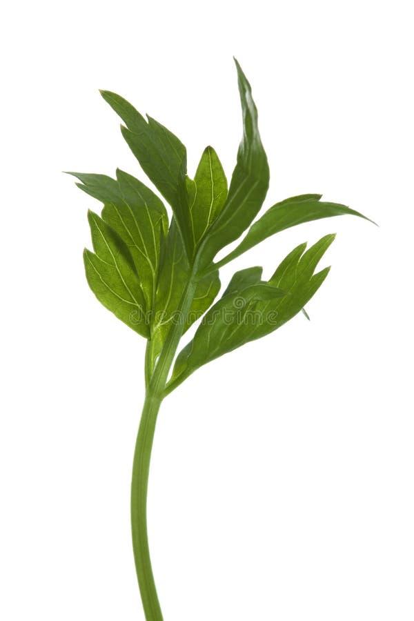 Fresh italian parsley herb twig stock photo