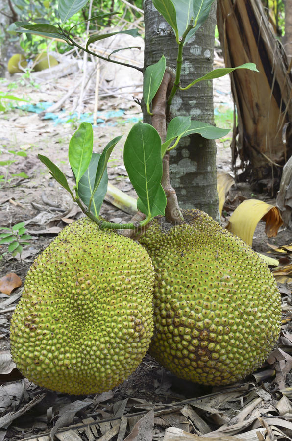 Download Fresh jackfruit stock image. Image of agriculture, healthy - 25348665