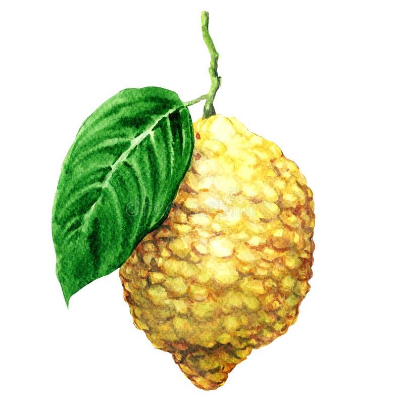 Fresh japanese citron fruits, citrus, isolated, watercolor illustration on white. Fresh japanese citron fruits, citrus medica, isolated, watercolor illustration vector illustration