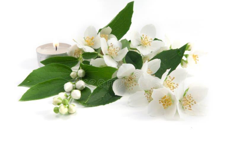 Fresh jasmine royalty free stock photography