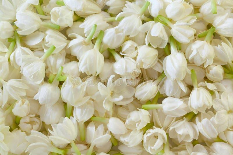 Fresh Jasmine Flower Background vector illustration