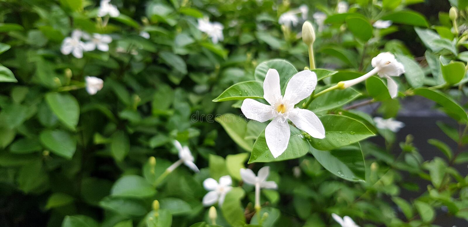 Fresh Jasmine flower and raindrop or water drops on green leaves blurred background stock images