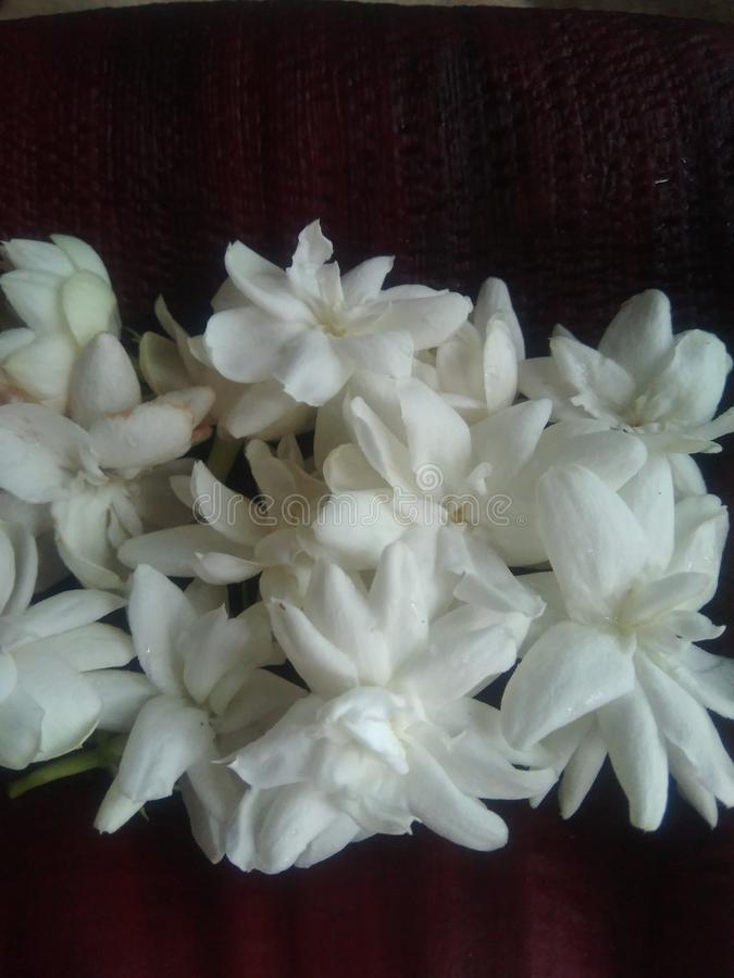 Fresh Jasmine flowers with black back round. Jasmine can be either deciduous & x28;leaves falling in autumn& x29; or evergreen & x28;green all year royalty free stock images