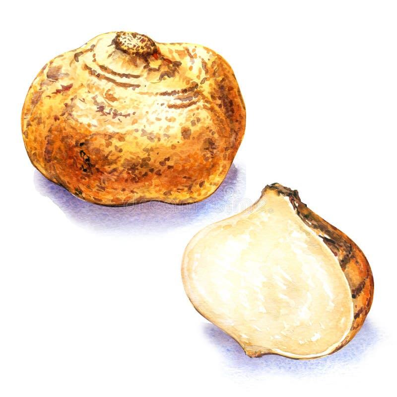Fresh jicama vector illustration
