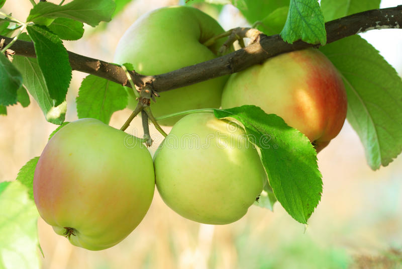 Fresh juicy apples on brunch close up stock image