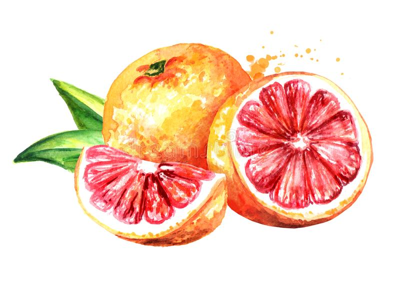 Fresh juicy grapefruit with half and slice. Watercolor hand drawn illustration, isolated on white background.  stock illustration