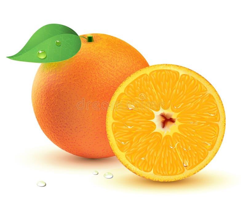 Fresh juicy oranges. Vector illustration of a Fresh juicy oranges isolated on white background stock illustration