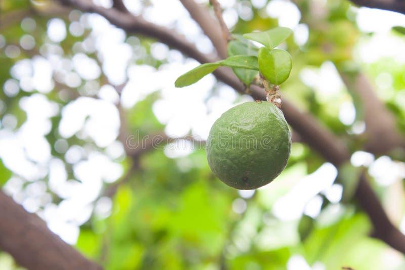 Download Fresh Kaffir Lime stock image. Image of antioxidant, asia - 41379073