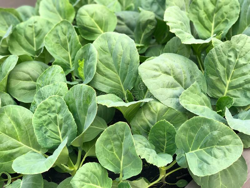 Fresh kale leaves. In kale plot. S in the market, thailand royalty free stock photos