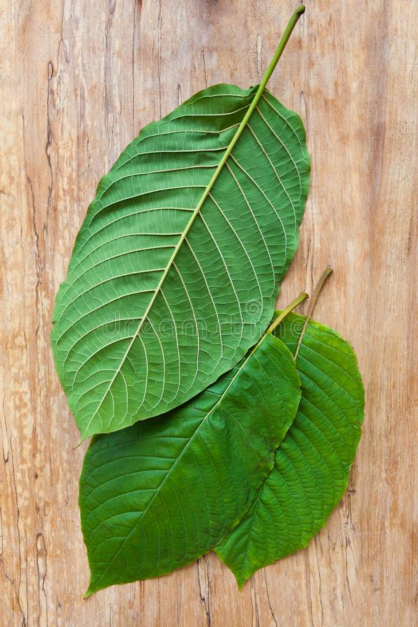 Fresh kratom leaves. royalty free stock photography