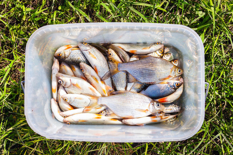 Fresh lake fish in a plastic bucket royalty free stock images
