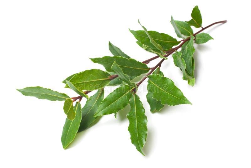 Fresh laurel twigs on white. Fresh twigs of laurel isolated on white stock image