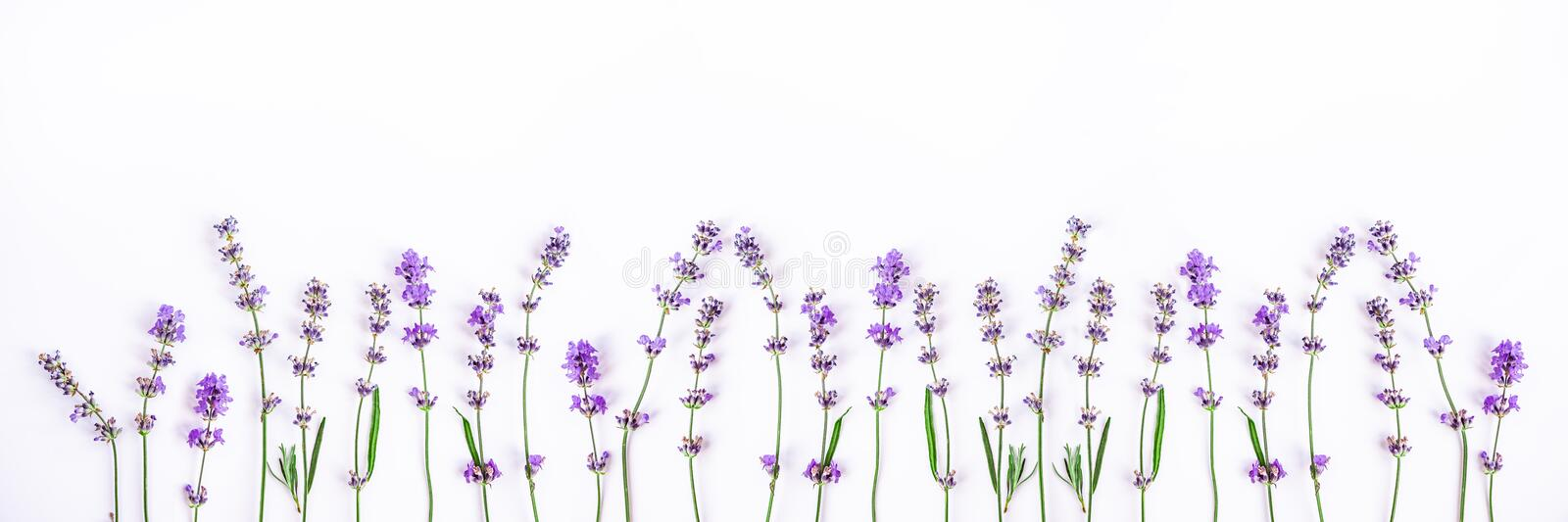 Fresh lavender flowers on a white background. Lavender flowers banner. Copy space. royalty free stock images