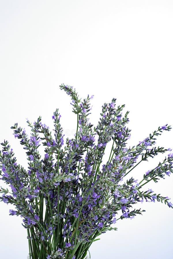 Download Fresh Lavender On White Background Stock Image - Image: 14935345