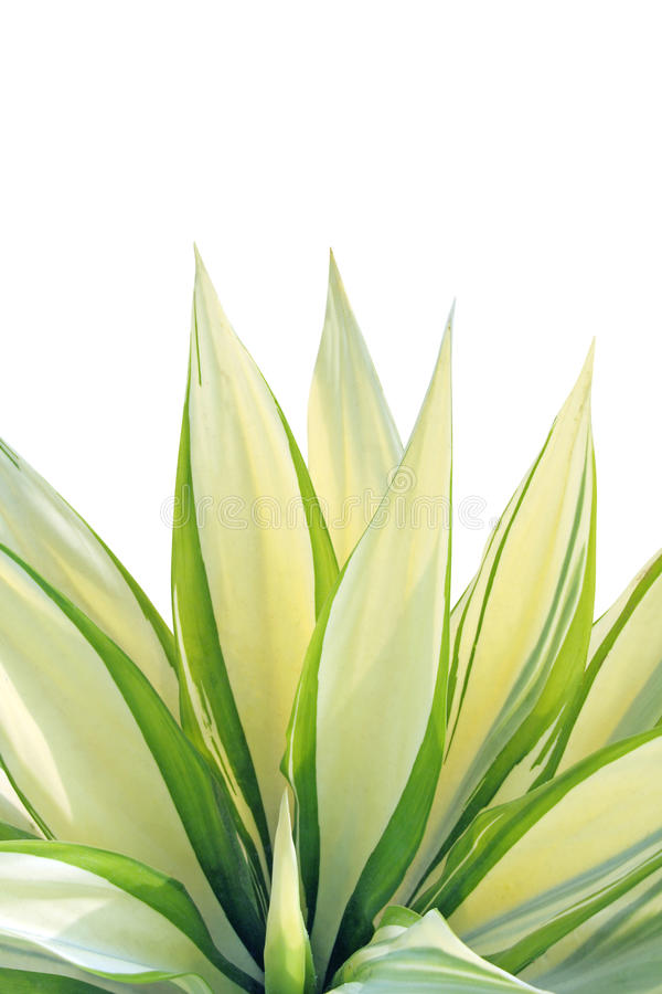 Fresh leaf - Agave stock photos