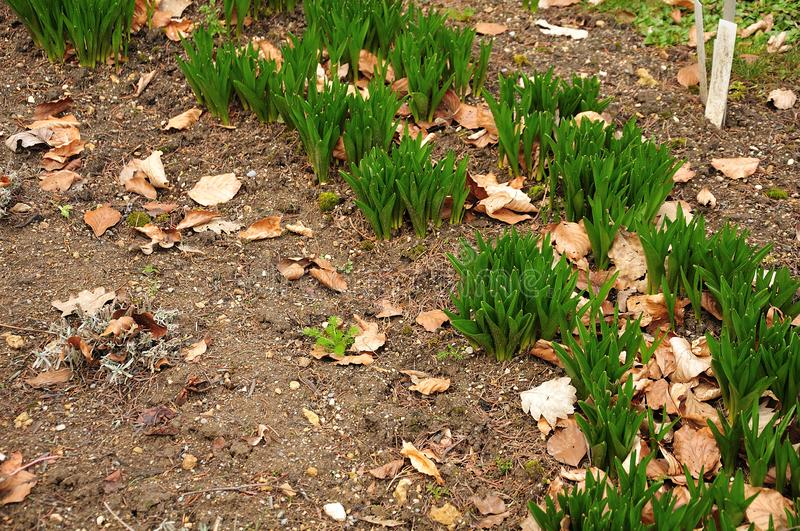 Fresh leaves of autumn crocusses in flowerbed in spring garden stock image