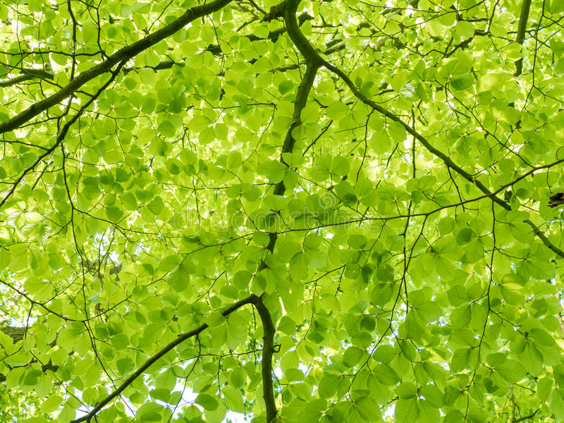 Fresh leaves on a beech tree royalty free stock photos