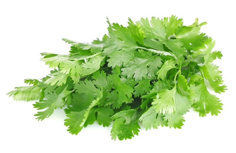 Fresh leaves of cilantro royalty free stock image