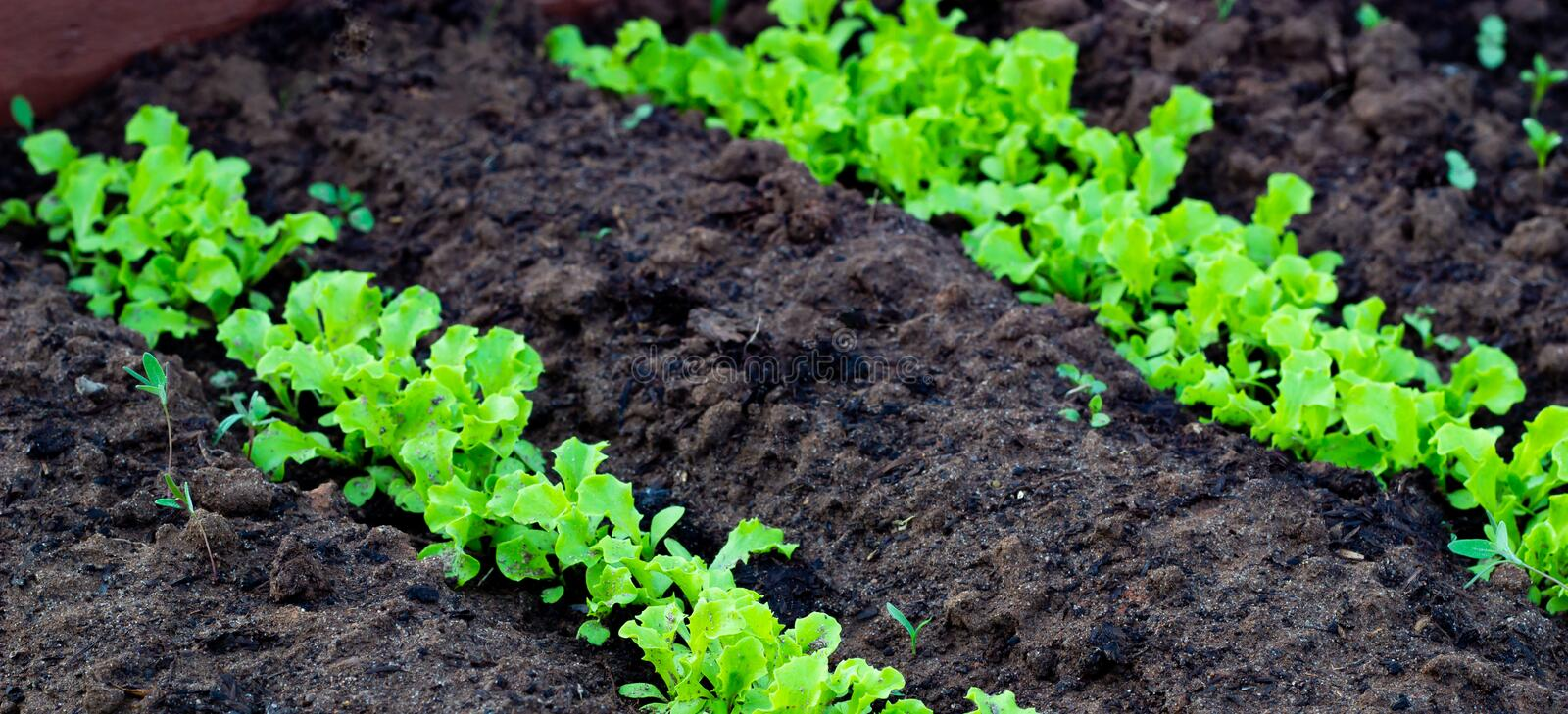 Fresh leaves of green lettuce salad growing in soil in garden. Growing organic vegetables stock photo