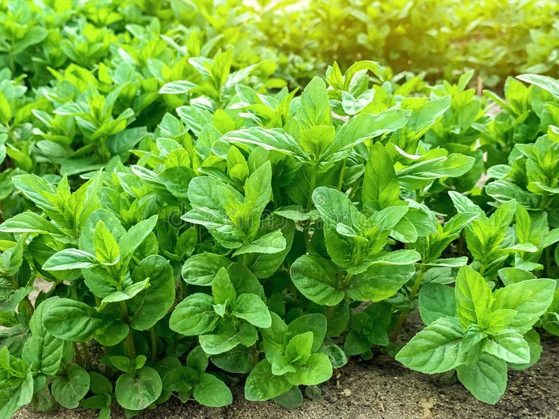 Fresh leaves of green young mint grow in the garden. Natural wallpaper. Aromatherapy royalty free stock photo