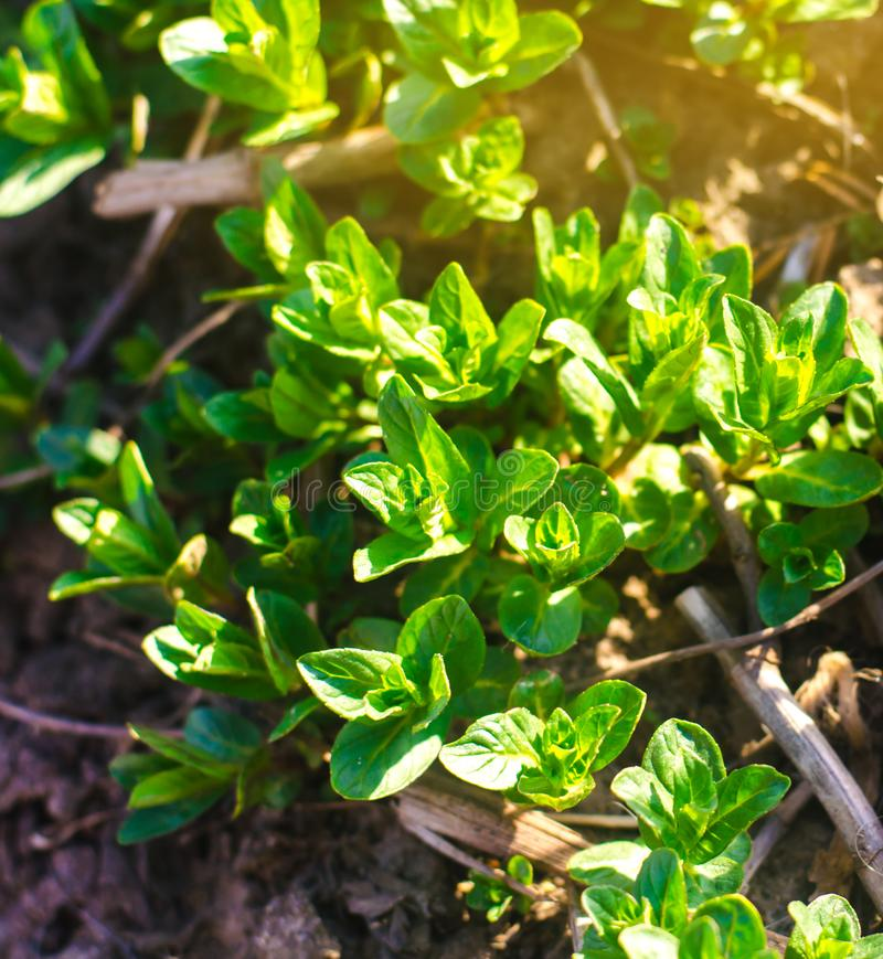 Fresh leaves of green young mint grow in the garden. Natural wallpaper. Aromatherapy. Selective focus royalty free stock photography