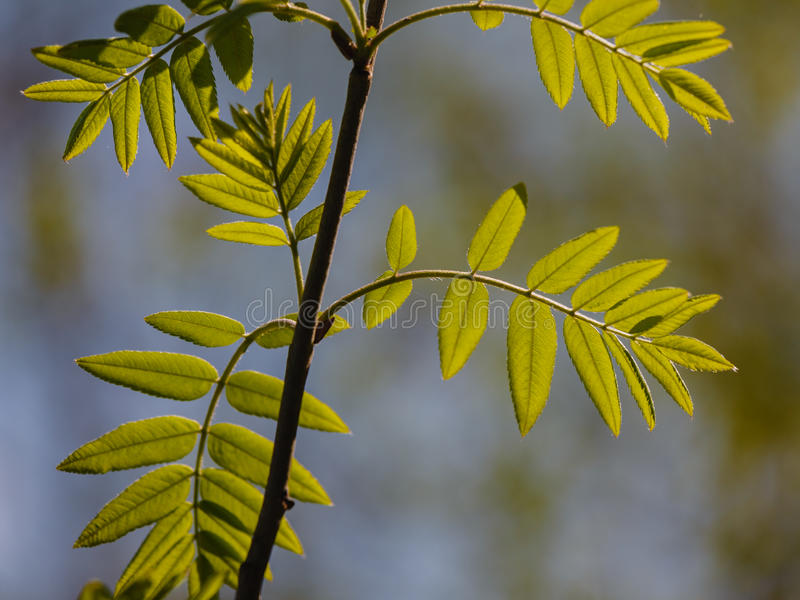 Fresh leaves of a mountain ash. Lit with the spring sun royalty free stock image
